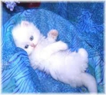 صور Cute Persian Kittens Available for sale 1