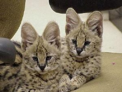 Healthy male and female Serval Kittens For adoption