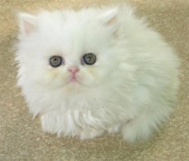 We have a litter of Persian kitten