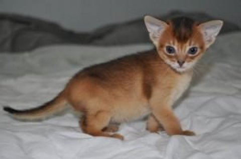 TICA Abyssinian kittens LITTLE angles are here