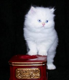 Cute and Affectionate lovable Male and female  Teacup Persian ki