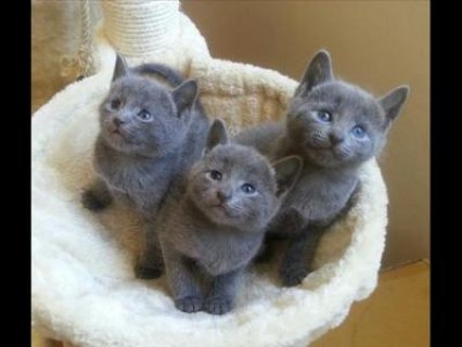 Beautiful Purebred Russian Blue kittens available