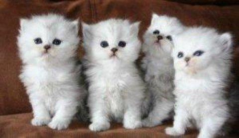 4 white persian kittens for adoption
