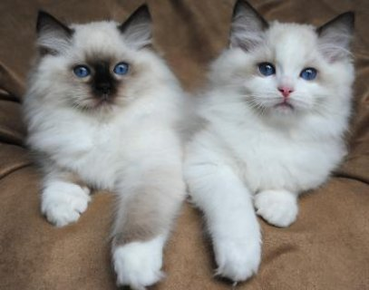 Gccf Registered Cream Ragdoll Boys & Girls Available Now