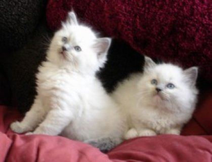 Pedigree Ragdoll Kittens/////////