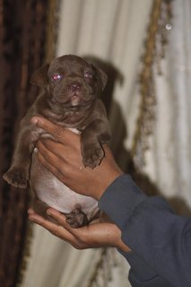 now available puppies  for sale sale