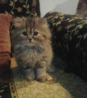 قطه شيرازى تايجر - عمر شهرين
