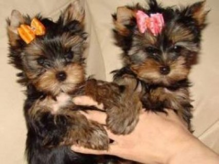 صور Charming AKC T-Cup Yorkie puppies for adoption 1