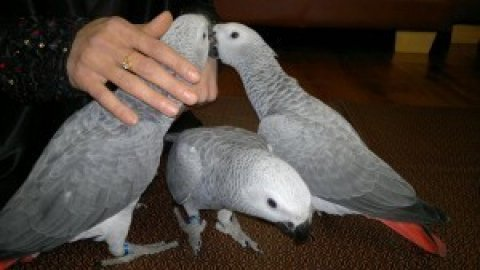 ,Pair of Talking African Grey parrots..