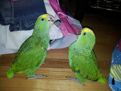 Pair od Double Yellow Head Amazona