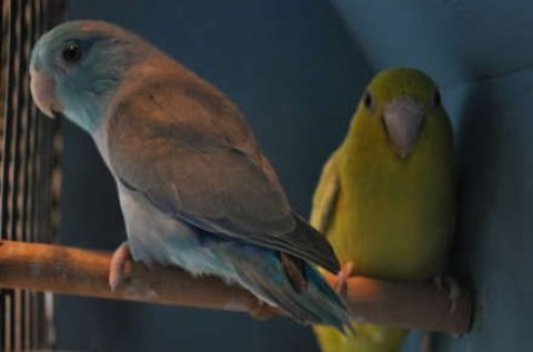 Matured Ready To Breed Parrotlets