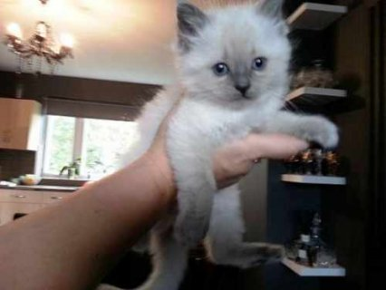 We got beautiful RAGDOLL KITTENS