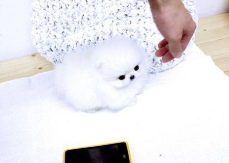 Teacup Pomeranian Puppies for sale(ricopauline44@>g>m>a>i>l>.>c>
