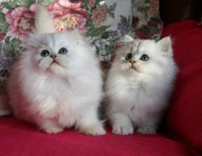 Adorable chinchilli persian kittens