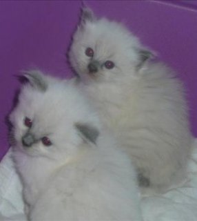 Purebred Ragdoll Kittens for re-homing