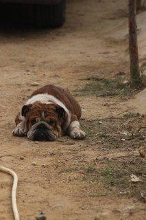 for sale female bulldog  2 years