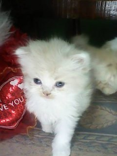 للبيع 3 قطط شرازى