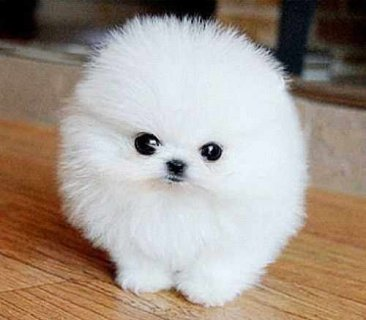 cute and charming teacup pomeranian