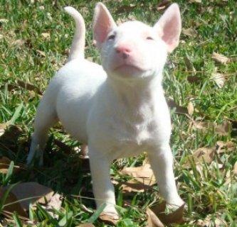 AKC Bull Terrier Puppies