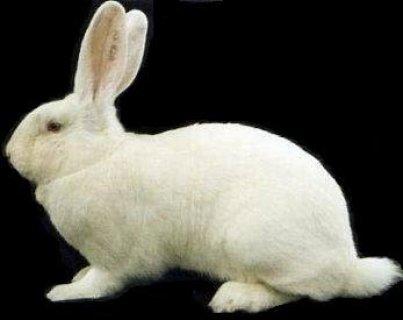 ارانب الهاي بلس الاصلي