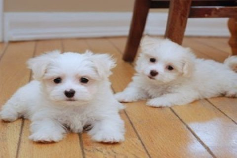 Pure White Maltese Puppies