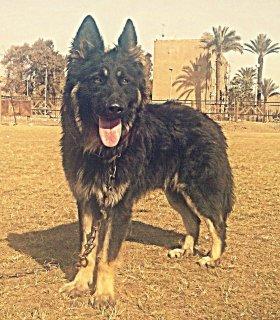 كلب جرمن شيبرد لونج هيرجميل للبيع