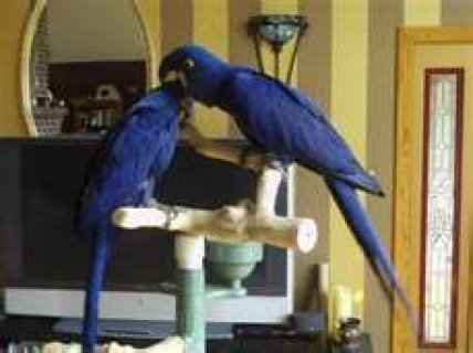 Tamed Hyacinth macaw parrots