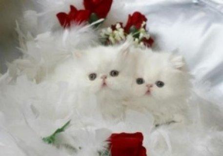 Persian kittens.