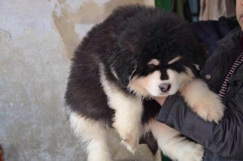 للغواه اجمل جراوى gaint malamute و tibetan mastiff