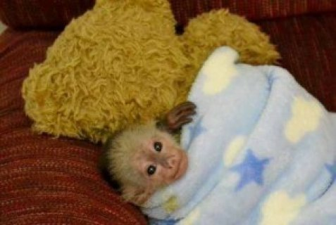 Wonderful Lovely Capuchin monkey for adoption