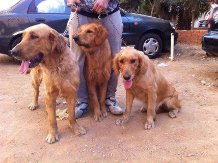 للبيع 3 كلاب جولدن ريتريفر بسعر خرافي