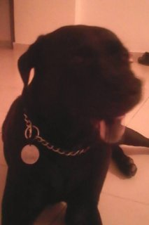 تبديل كلب بلاك لبرادور - ب باص جيتار + امب