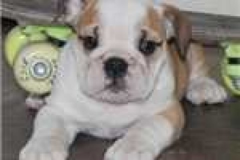 Pretty cute and lovely bulldog puppies available