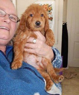 Stunning 12 weeks old registered golden doodle puppies