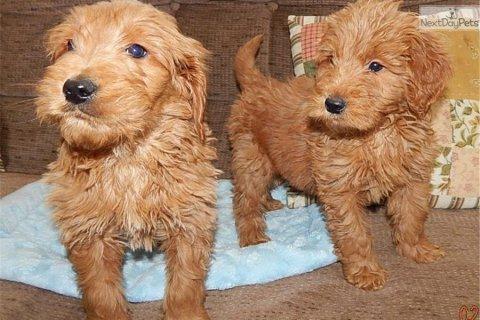 Well train golden doodle puppies
