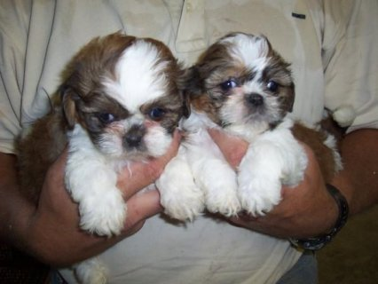 two Shih Tzu puppies for sale