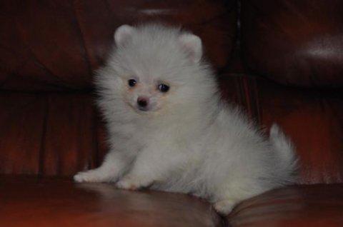 كلب صغير طويل الشعر الجميلة