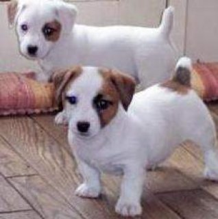 Beautiful Jack Russell Terrier puppies to go.