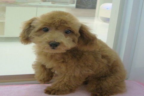 Poodle puppies excellent pedigree