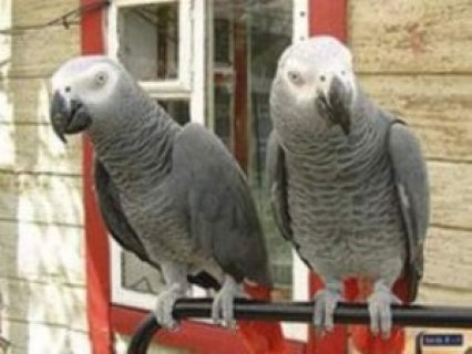 African Grey Parrots for sale.,.
