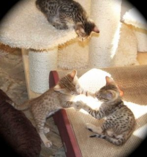 Beautiful Savannah Kittens Available for sale