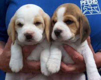 Lovely Beagle Puppies Available Now..