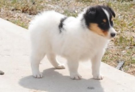 Excellent Collie Puppies Now available for sale