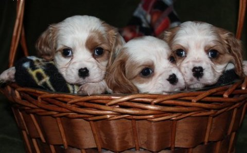 صور male and female Cavalier King Charles Spaniel Puppies for sale 1