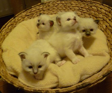 Playable birman kitten available with health papers For Sell