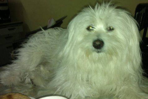 اخر كلب جريفون المانى للبيع بسعر 250 .
