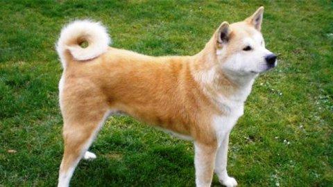 كلب اكيتا يابانى