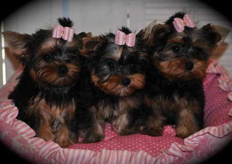 Adorable AKC Yorkie Female Puppies for adoption