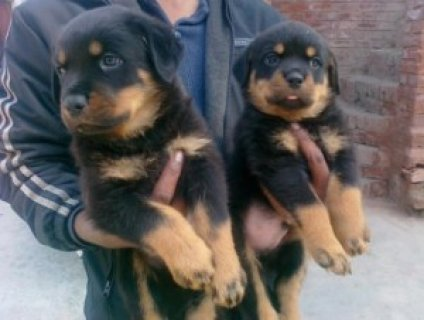 Comfortable rottweiler puppies for free adoption