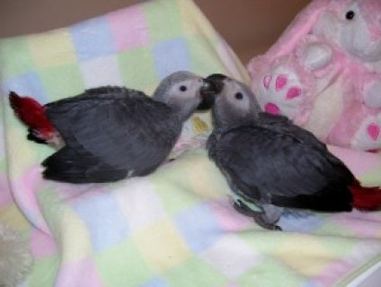 DNA Sexed Blue & Gold Macaw Parrots and African Grey Parrots For